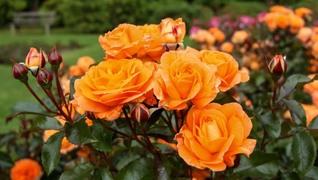В продажу поступили саженцы роз