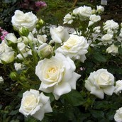Саженцы кустовых роз (в ассортименте)