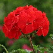 Пеларгония Апачи (красная)