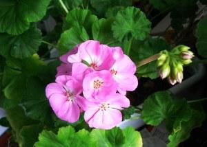 Пеларгония Апачи (роз. с белым)