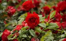 саженцы кустовых роз